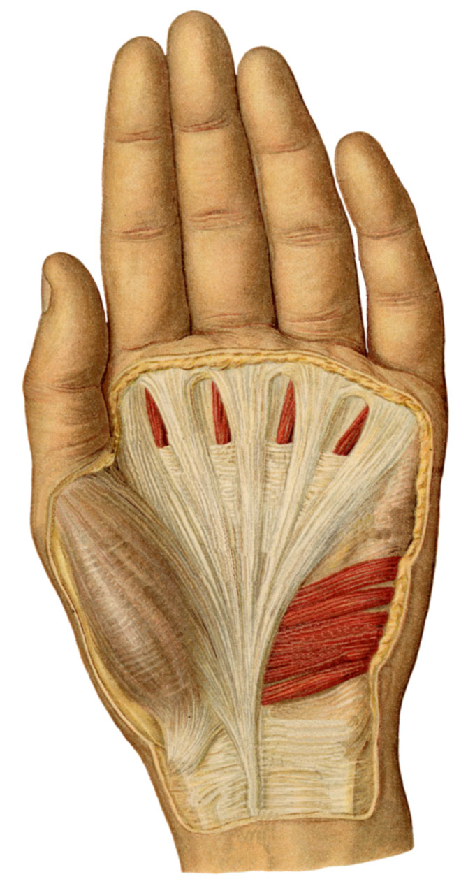 anatomyexpert palmar aponeurosis structure detail